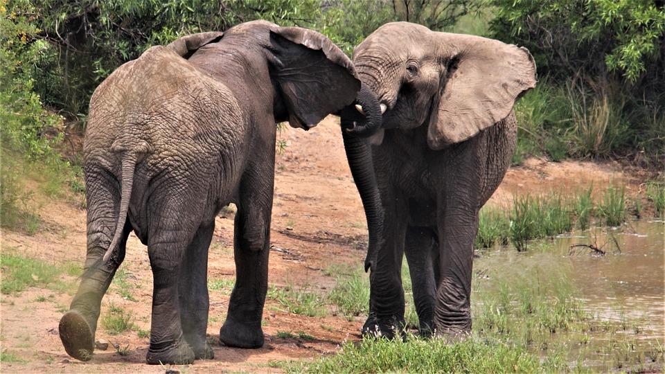African Elephants Ears Flapping Free Photo On Pixabay
