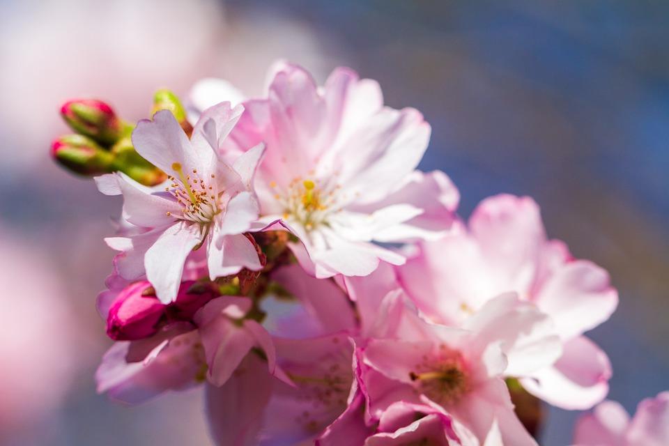 Fiore Di Ciliegio, Ornamentali Ciliegia, Fiori