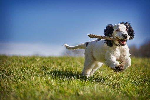 Fetch, Stick, Puppy, Dog, Action, Animal