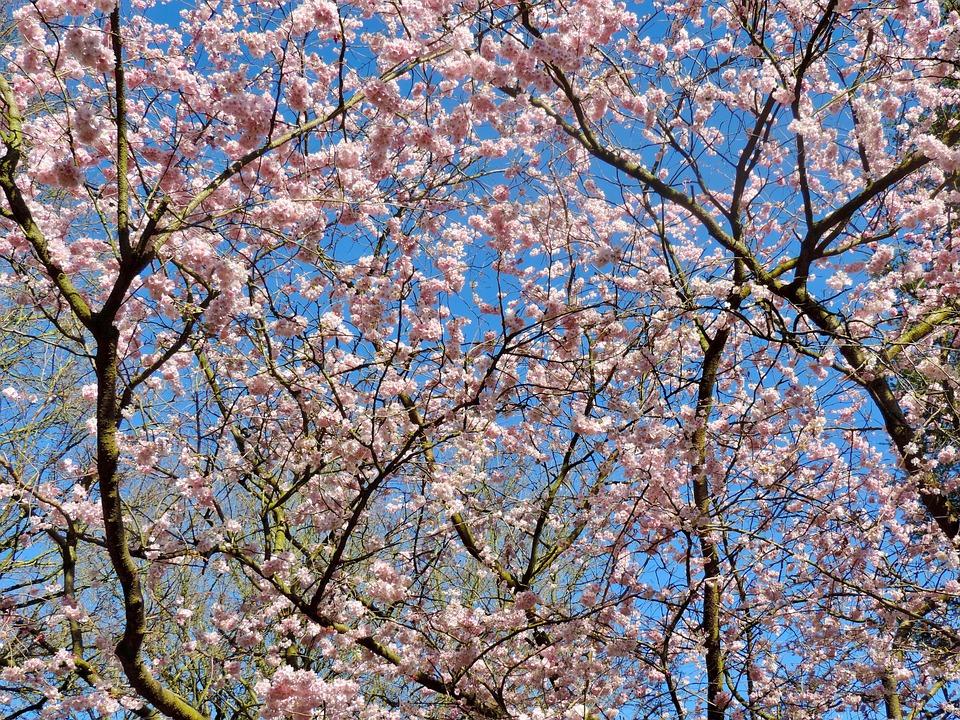 Cherry Blossom Tree Sky Ornamental Free Photo On Pixabay