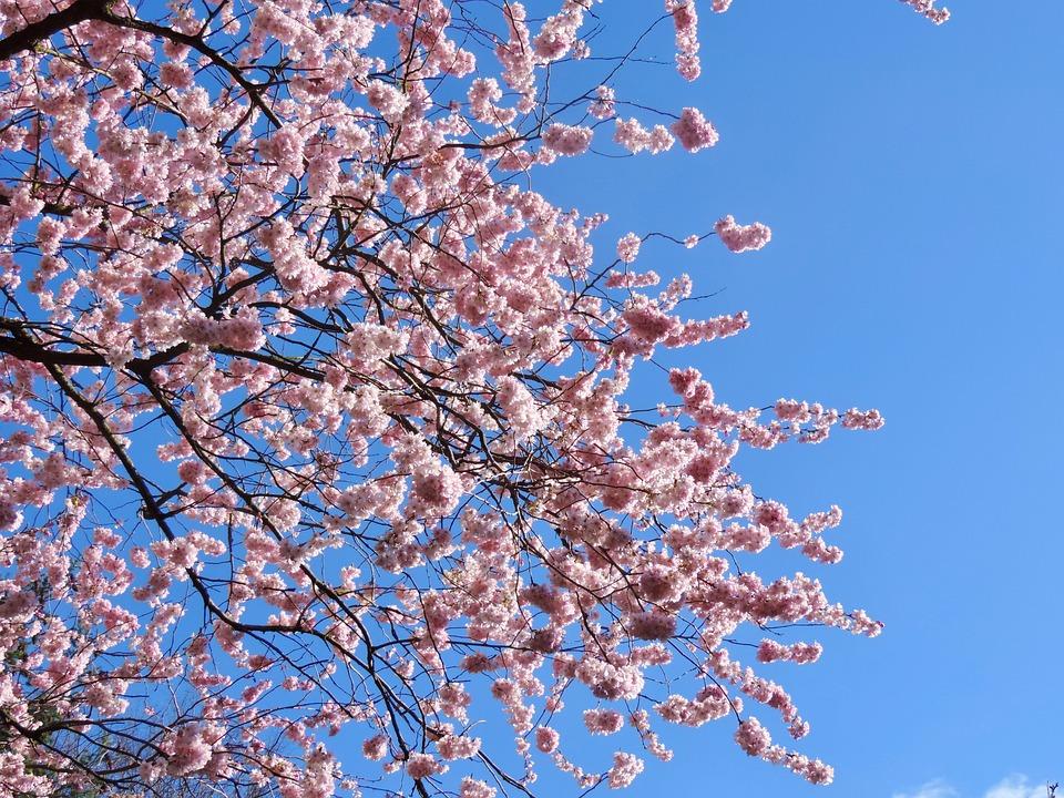 Cherry Blossoms Tree Sky Free Photo On Pixabay