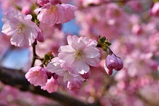 观赏樱花, 樱花, 开花枝, 科, 开花, 粉红色, 春天, 盛开, 春天的使者