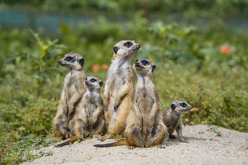 Meerkat, Herd, Meerkats, Group, Rodents