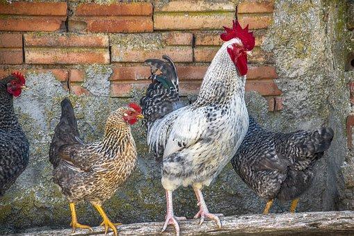 动物, 加洛, 母鸡, 羽毛, 鸟, 全身羽毛, 多彩