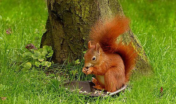 动物, 啮齿动物, 哺乳动物, 松鼠, Scirus主要寻常, 饥饿, 吃