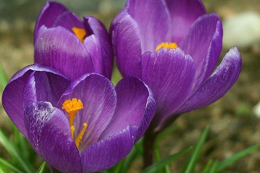 200 Free Saffron Crocus Images Pixabay