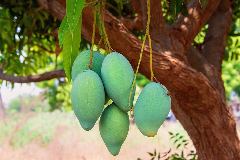 Манго, Зеленый, Фруктовое, Индия, Андхра, Прадеш