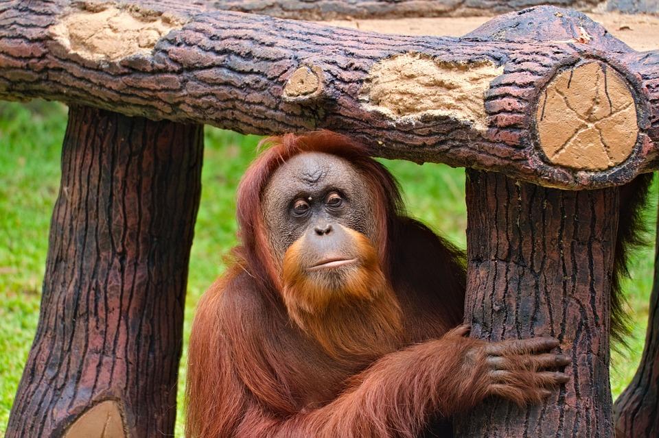 Orang Outan, Singe, Primate, Des Animaux, Bornéo