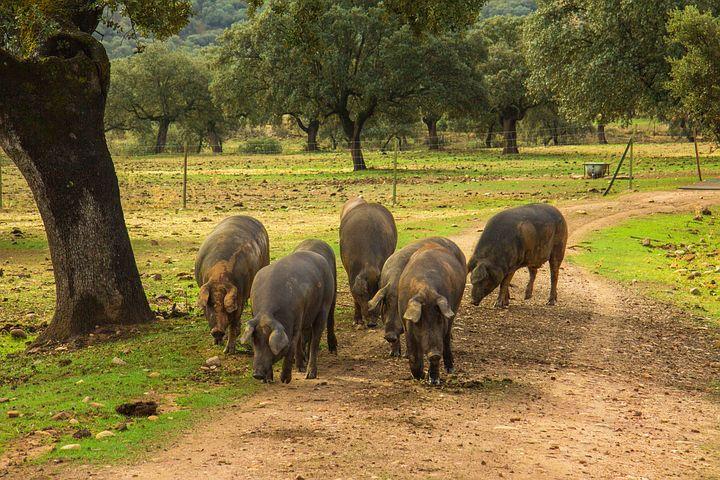 Jamon, Cerdos, Cerdo, Jamones, Dehesa