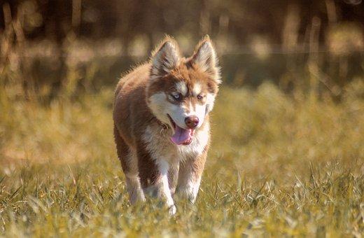 Husky, Puppy, Dog, Pet, Animal, Cute