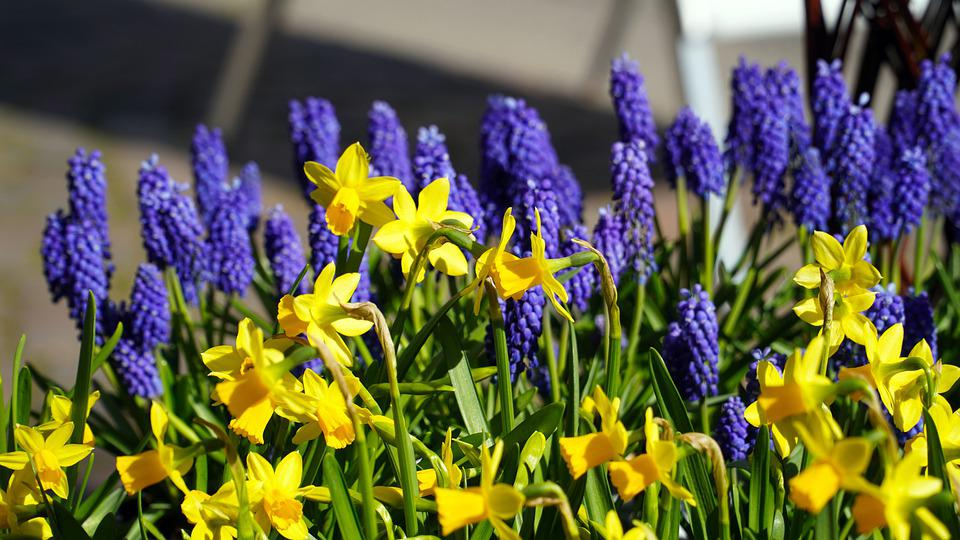 Muscari, Blue, Blossom, Bloom, Spring, Daffodils