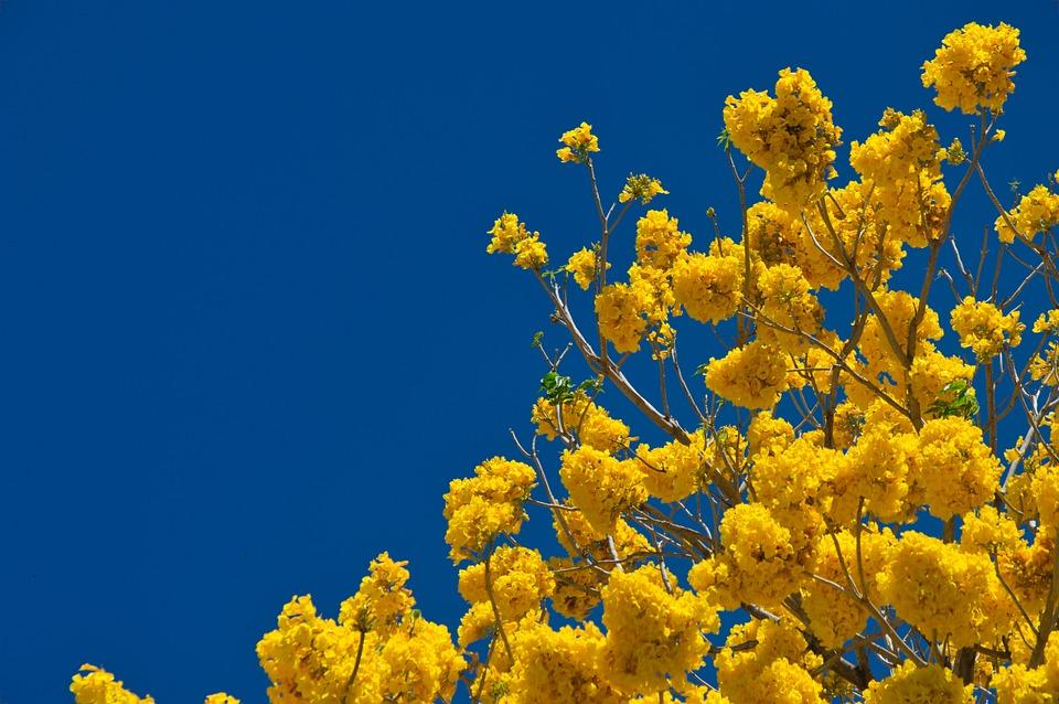 コスタリカ, トランク, 木材, ツリー, 自然, 枝, フォレスト, 黄色の樹皮, 黄色, 開花, 春