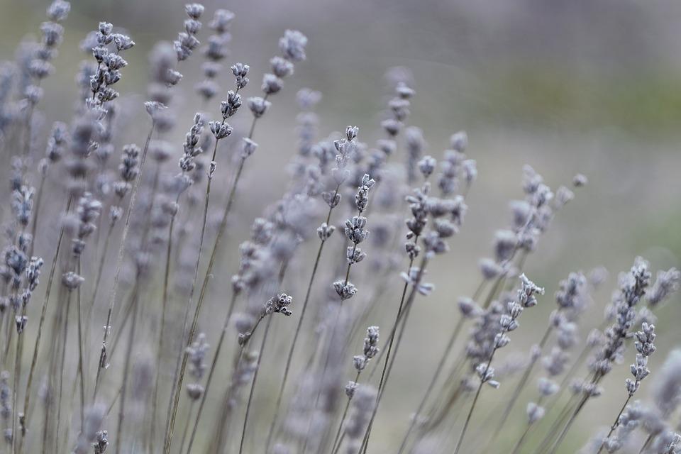 Lavendel, Natur, Pflanze, Blumen, Lila, Garten, Kräuter