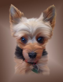 Yorkshire, Terrier, Yorky, Dog, Canine
