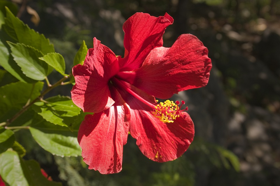 Chinese-Hibiscus, Red, Tropical, Flower, Hibiscus