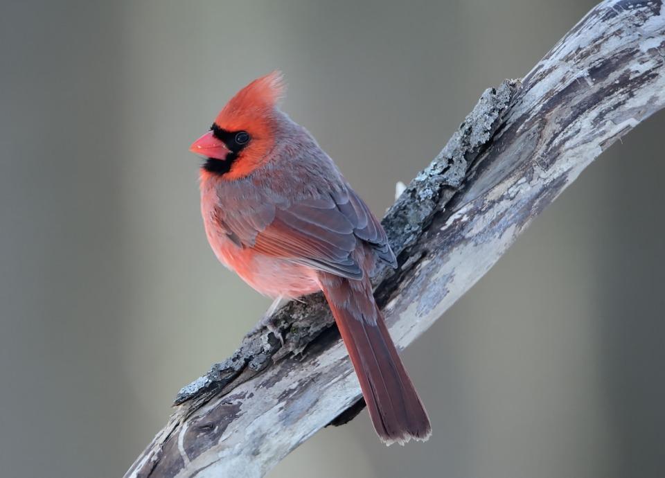 Northern Cardinal, Bird, Wildlife, Perched, Nature