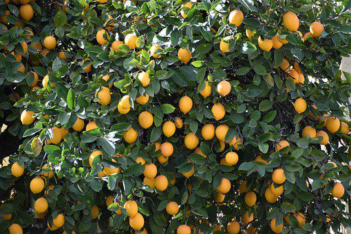 Lemon, Lemon Tree, Citrus, Backyard