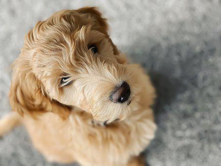 Puppy, Goldendoodle, Dog, Pet, Animal