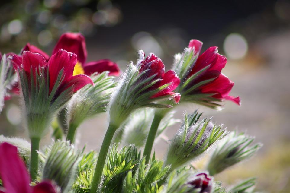 Anemone, Pulsatilla, Pasqueflower, Fiori, Rosso