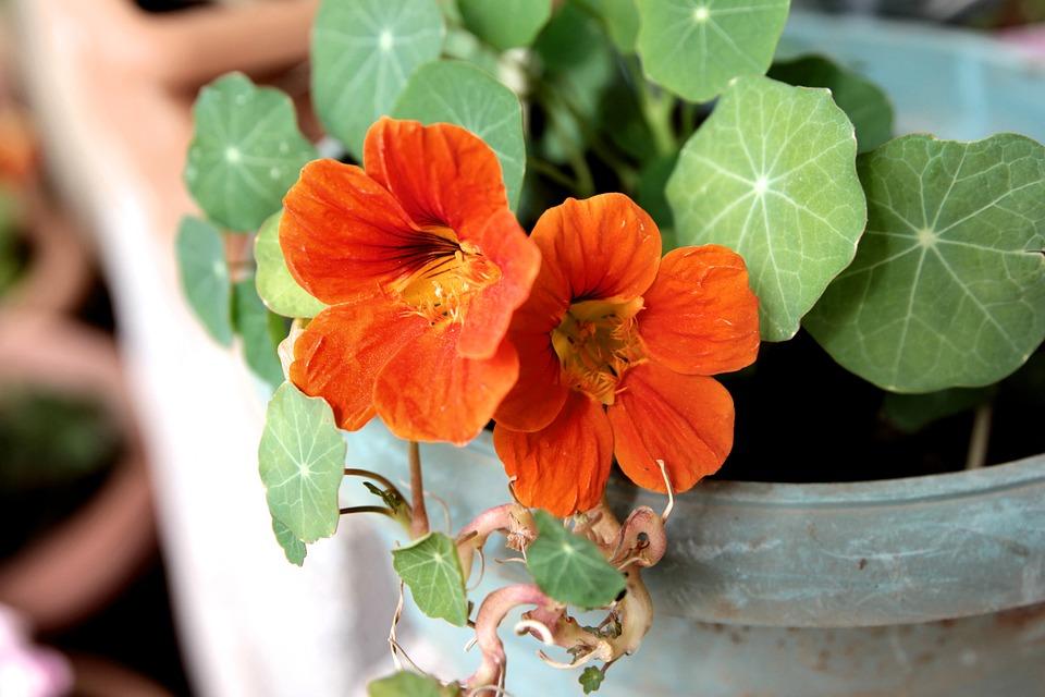 Nasturtium, Plant, Flower, Spring, Garden, Blooming