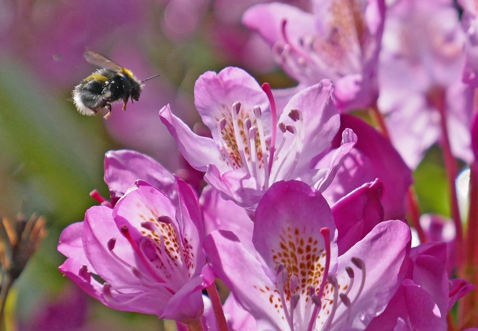 Kumbang Lebah Madu - Foto gratis di Pixabay
