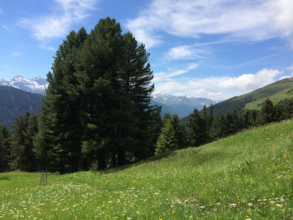 Alpi, Pino Silvestre, Prato Alpestre, Montagne, Prato