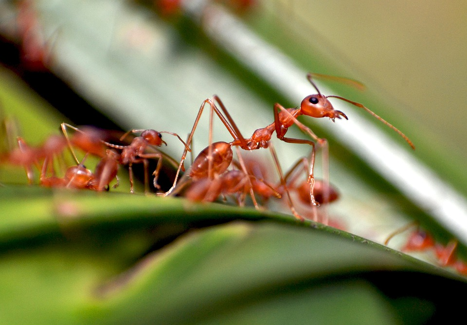 Ants, Colony, Nature, Insect, Pest, Red, Small