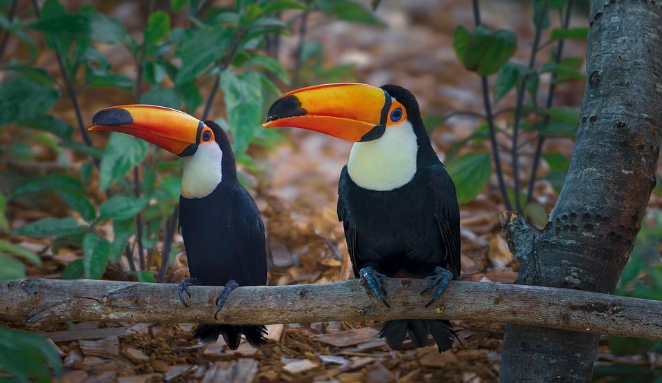 Tucano, Jardim Zoológico, Pássaro, Bico, Natureza, Cor