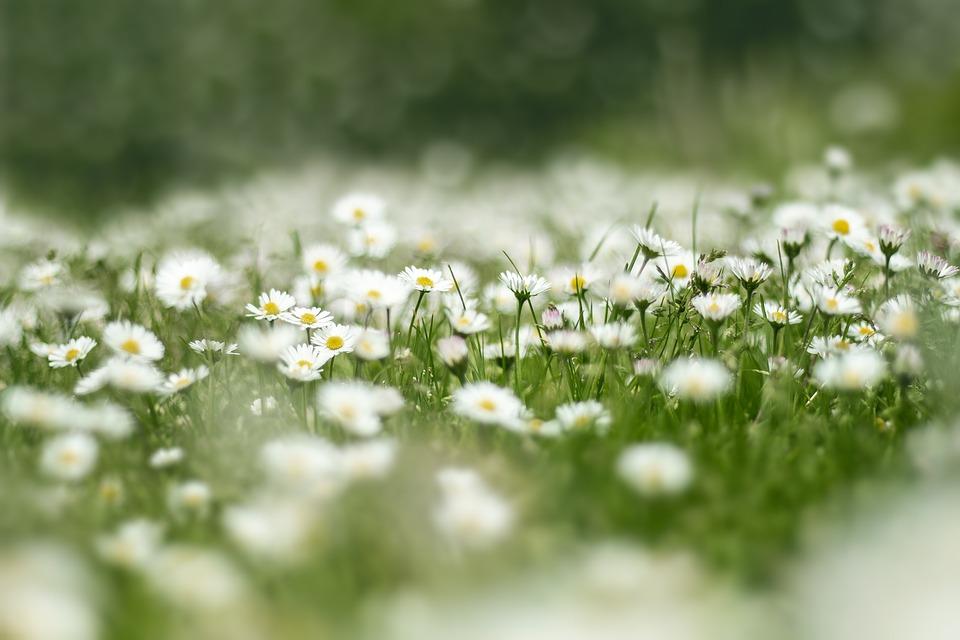 花草原, デイジー, 自然, 花, 草, ワイルドフラワー, 白, 緑, 牧草地