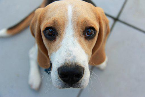 beagle for families