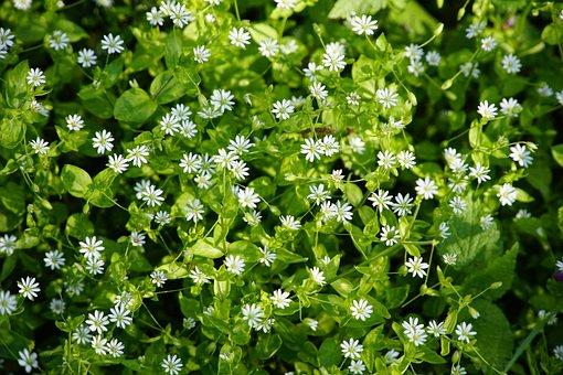 ハコベ, Stellaria, メディア, ホワイト, 花, 野草, 森林
