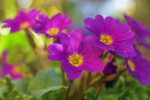 Kissenprimel, サクラソウ, 春の花, 早期に咲く花, スプリング