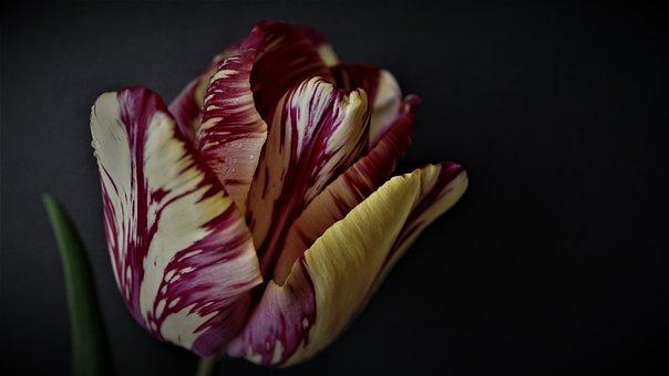 Tulipe, Arrière Plan, Noir, Sombre