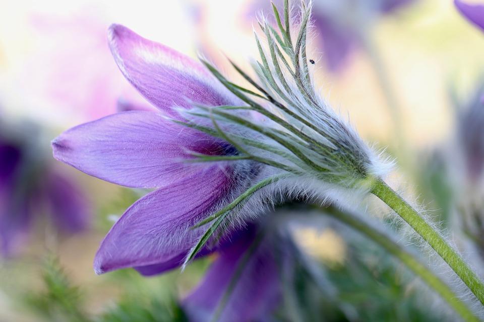 Pulsatilla, Pasqueflower, Fiore, Viola