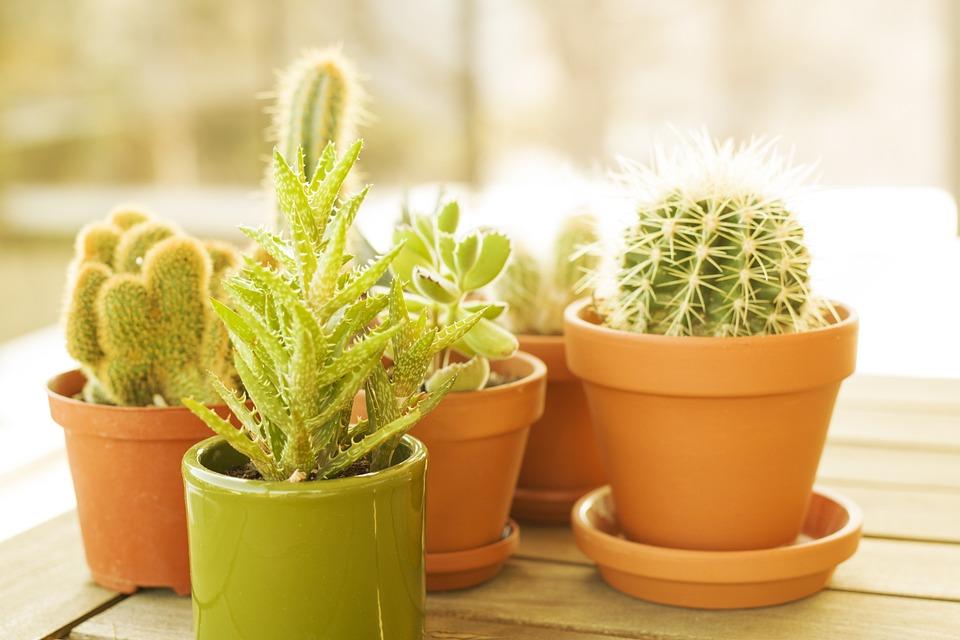 Plant Houseplant Cactus Potted - Free photo on Pixabay