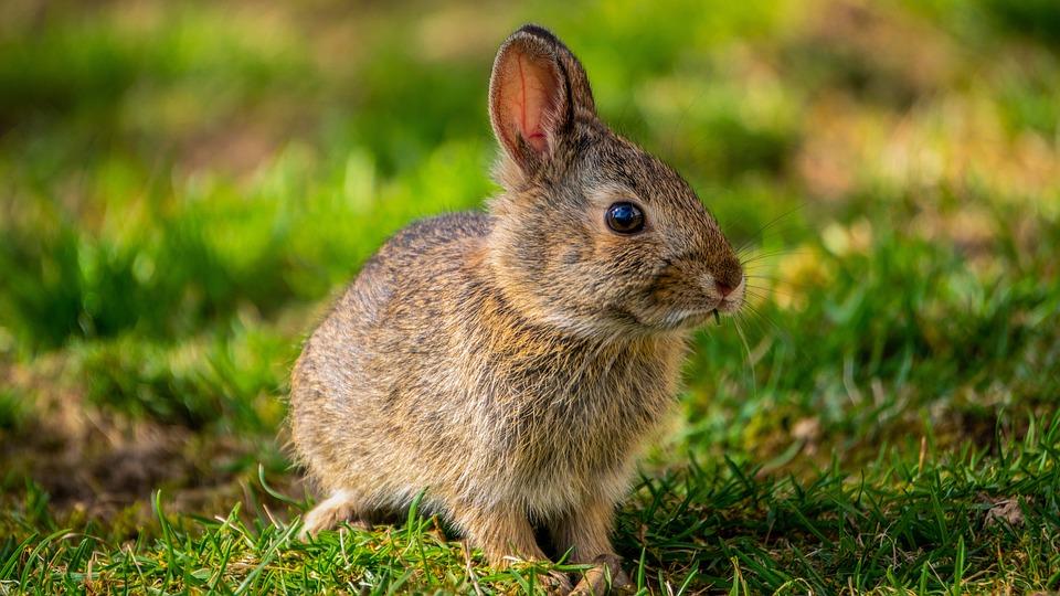 Bunny, Lapin, Printemps, Lapin Bébé, Pâques, Lièvre
