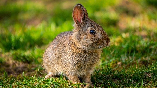 Bunny, Rabbit, Spring, Baby Bunny
