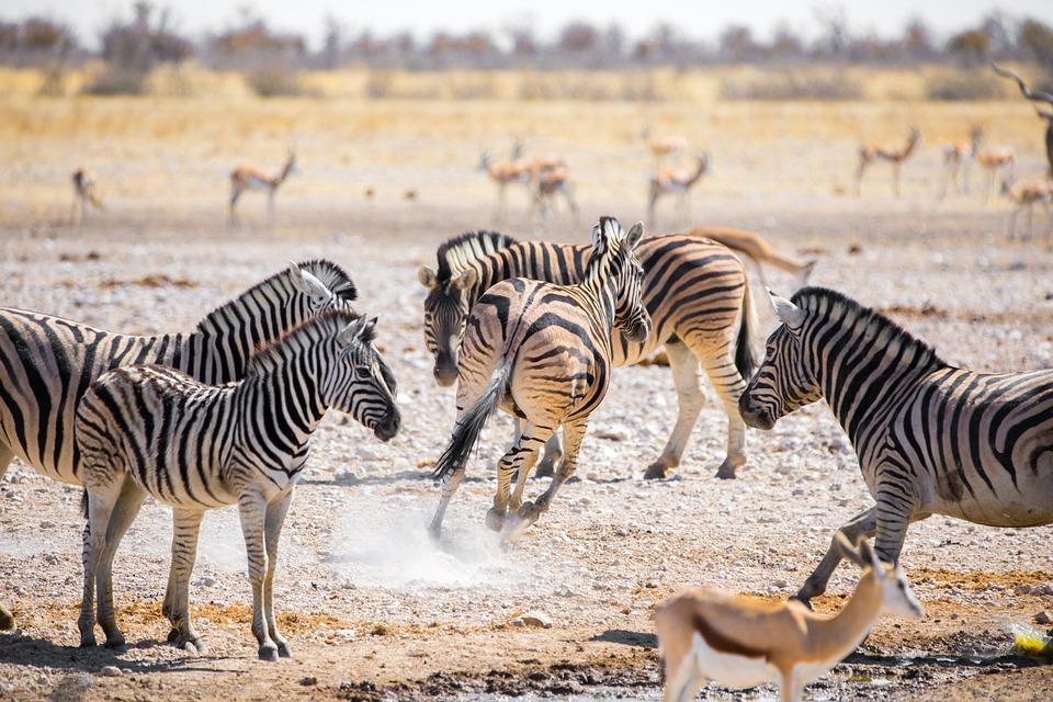 Zebre, Namibia, Africa, Safari, Animali, Natura