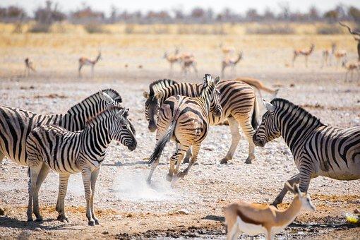 Zebras, Namibia, Afrika, Safari, Tiere