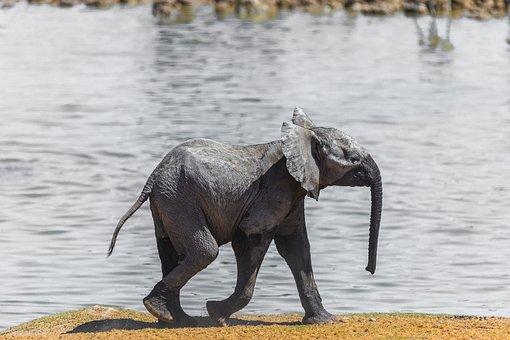 Elefant, Namibia, Baby, Wasser, Afrika