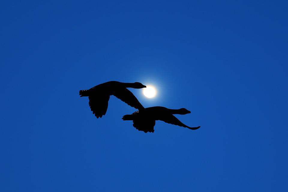 Night, Moon, Sky, Blue, Flights, Geese, Wings, Space