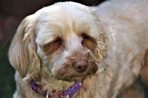 Cockapoo Puppies For Sale in Arkansas