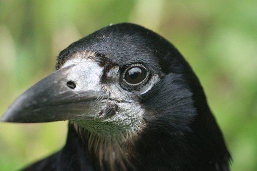 Corbeau Freux, Oiseau, Animal, Faune