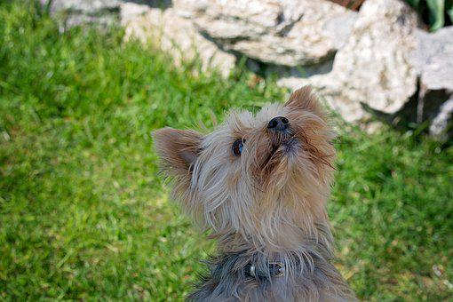 Dog, Yorkie, Yorkshire Terrier, Pet