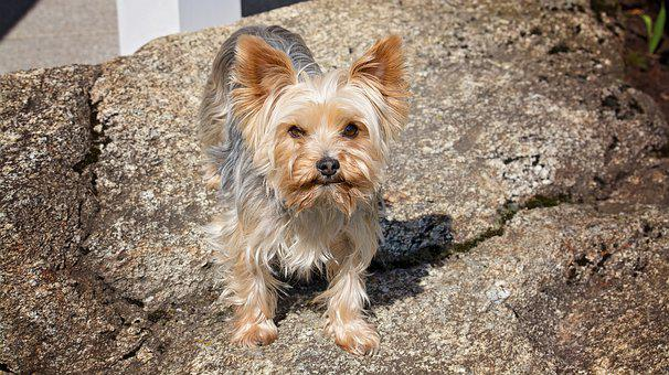 Dog, Yorkie, Yorkshire Terrier, Small