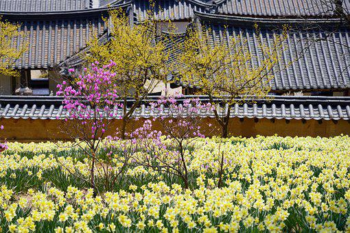 Korea, Tile House, Daffodil, Flower