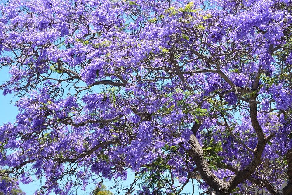 Jacaranda Tree Purple Free Photo On Pixabay
