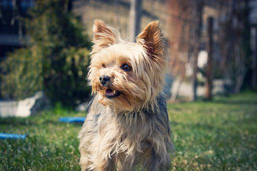 Yorkie, Yorkshire Terrier, Dog, Small