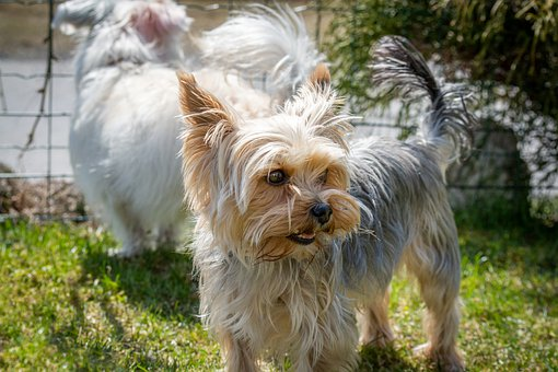 Teacup Yorkie Poo Puppies for sale in Connecticut