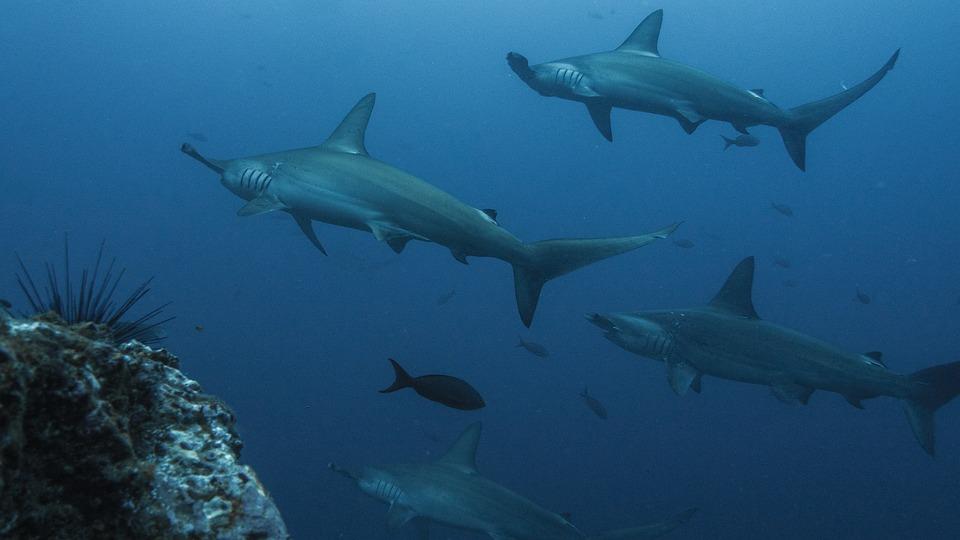 シュモクザメ、シュモクザメ、サメ、水中